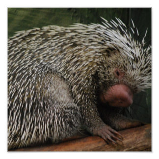 Cute Porcupine Poster