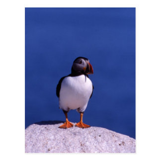 Cute Puffin Postcard