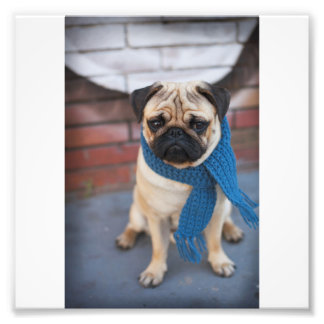 Cute Pug Dog Portrait with Blue Scarf, City Dog Photo Print