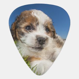Cute puppy dog (Shitzu) Pick