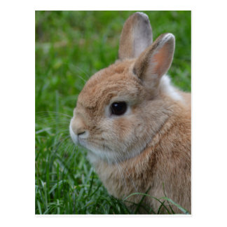 Cute Rabbit Postcard