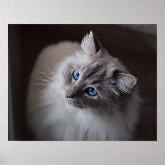 Cute Ragdoll Cat Blue Eyes Poster Print