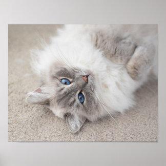 Cute Ragdoll Cat Poster Print