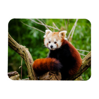 Cute Red Panda Bear Rectangular Photo Magnet