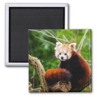 Cute Red Panda Bear Square Magnet