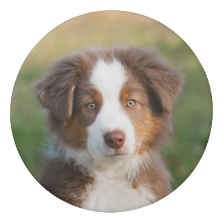 Cute Red Tri Australian Shepherd Dog Puppy Photo ; Eraser