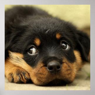 Cute rottweiler puppy poster