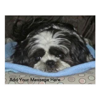 Cute Sad Eyed Shih Tzu Puppy Postcard