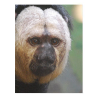 Cute Saki Monkey Postcard