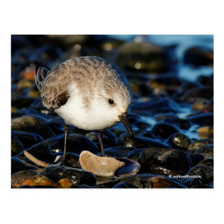 Cute Sanderling Dining on Tasty Clam Postcard