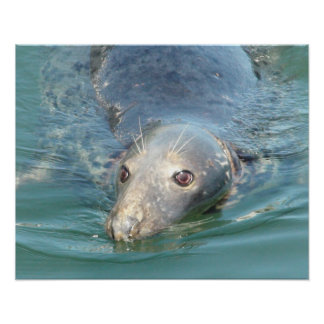 Cute Seal Swimming in Cape Cod Poster