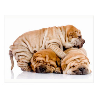 Cute Shar Pei Puppies Postcard