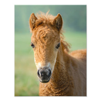 Cute Shetland Pony Foal Horse Head Frontal --- Photo Print