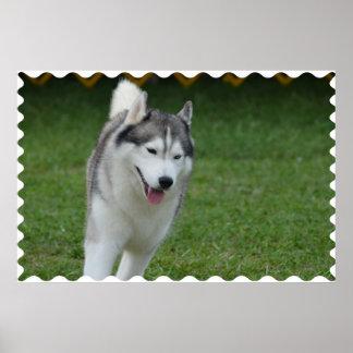Cute Siberian Husky Poster