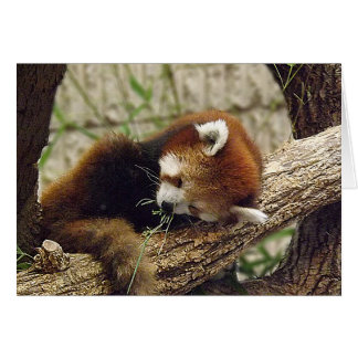 Cute Sleeping Red Panda w Food in It s Mouth Cards