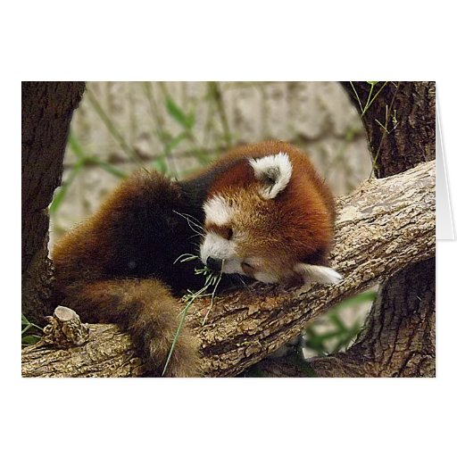 Cute Sleeping Red Panda w/ Food in It's Mouth Cards