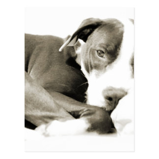 cute sleepy lazy pit bull dog postcard