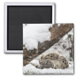 Cute Snow Leopard Plays in Snow Magnet
