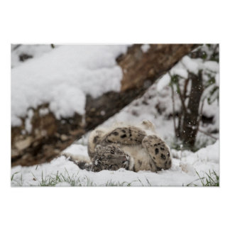 Cute Snow Leopard Plays in Snow Poster