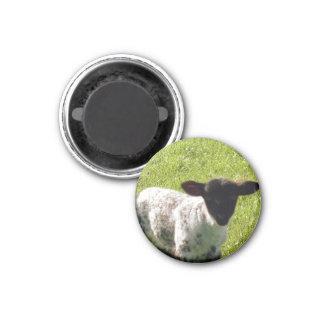Cute Spring Lamb Magnet