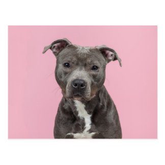 Cute Stafford pitbull terrier in pink Postcard