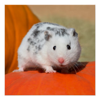 Cute Syrian Hamster White Black Spotted Funny Pet Poster