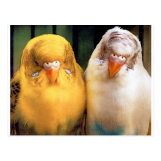 Cute! Two Budgies (One Yellow, One White) Postcard