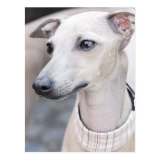Cute Whippet Postcard