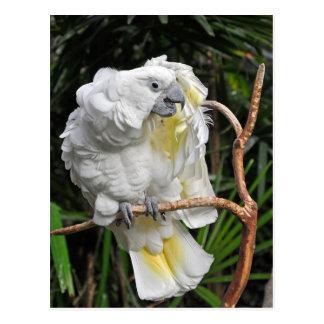 Cute white cockatiel postcard