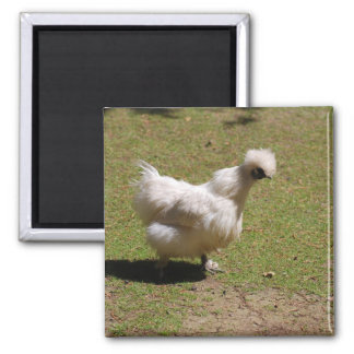Cute White Silky Bantam Chicken Walk Square Magnet