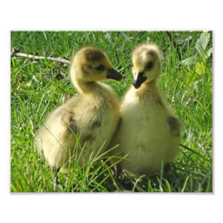 Cute Yellow Baby Canada Geese Gosling Pair Photo Print
