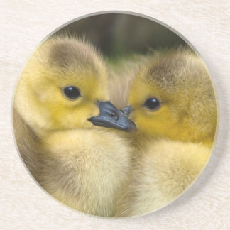 Cute Yellow Fluffy Ducklings, Baby Ducks Coaster