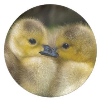 Cute Yellow Fluffy Ducklings, Baby Ducks Plate