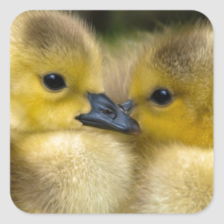 Cute Yellow Fluffy Ducklings, Baby Ducks Square Sticker