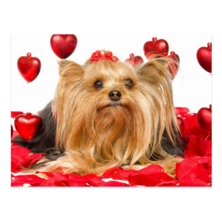 Cute Yorkie Valentine Postcard