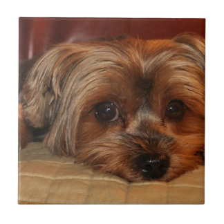 Cute yorkshire terrier dog,yorkie tile