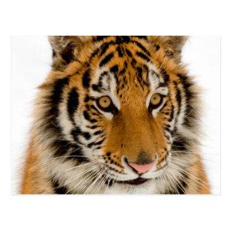 Cute Young Tiger Picture Postcard