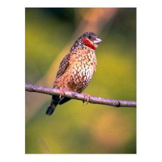 Cutthroat Finch Postcard