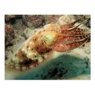 Cuttlefish, Great Barrier Reef, Cairns, Australia Postcard