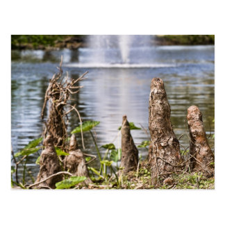 Cypress Knee Postcard