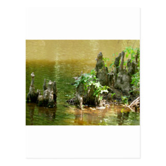 Cypress Knees Postcard