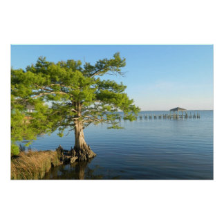 Cypress Tree on The Outer Banks Poster