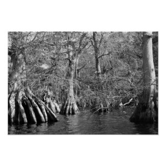 Cypress Trees in Black and White Poster