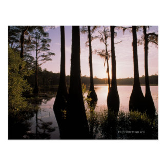 Cypress trees in Lake Bradford Region , 3 Postcard