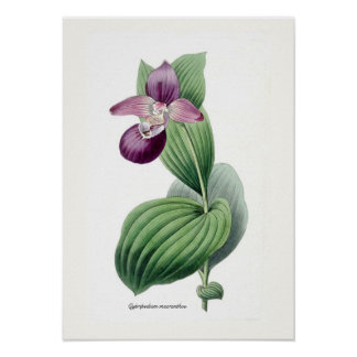 Cypripedium macranthos poster