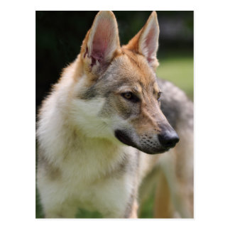 Czechoslovakian Wolfdog Postcard