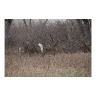 D0002 Whitetail Deer Poster