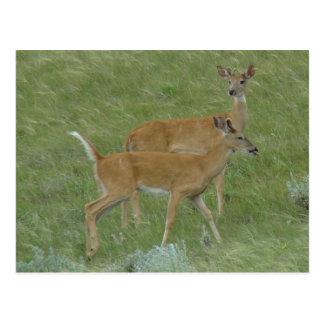 D0006 White-tail Deer Postcard