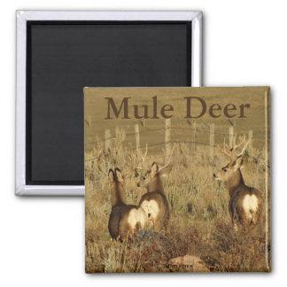 D0030 Mule Deer Bucks Magnet