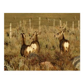 D0030 Mule Deer Bucks Postcard